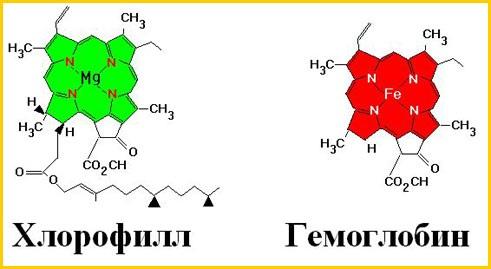 Хлорофилл действие на человека